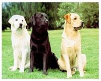 Предлагаются щенки лабрадора ретривера - мальчики и девочки шоколадного окраса с отличной родословной